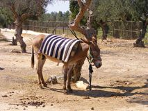 Åsna med olivträd i Tunisien, Nordafrika royaltyfria bilder