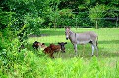 Åsna och kor som kyler av i skuggan Arkivfoto