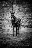 Åsna på en lantgård Royaltyfria Bilder