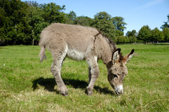 åsna som äter gräs Royaltyfri Foto