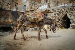Åsnan bär lasten över det forntida stenar byn av Kandovan, Tabriz royaltyfria foton