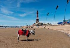 Åsnaritter - Blackpool strand England Royaltyfri Fotografi