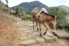 Åsnaslinga Nepal Royaltyfri Foto