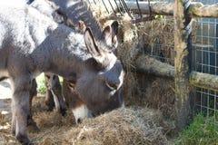 åsnor som äter hö Arkivfoto