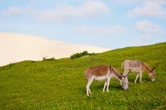 åsnor som matar gräs, green två Fotografering för Bildbyråer
