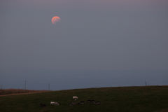 Åsnor under en måneförmörkelse Arkivfoton