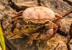 Återstår den döda krabban Royaltyfri Bild