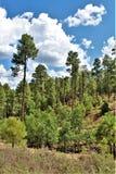 Återväxt 2002 för brand för Apache Sitgreaves nationalskogrodeo-Chediski som av 2018, Arizona, Förenta staterna royaltyfri foto