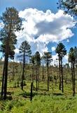 Återväxt 2002 för brand för Apache Sitgreaves nationalskogrodeo-Chediski som av 2018, Arizona, Förenta staterna arkivbild