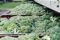 Åtskillig broccoli i träfack ut i regnet Arkivfoton