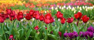 Åtskillig kulör tulpanträdgård royaltyfri fotografi