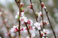 Åtskillig vit körsbärsröd blommacloseup fotografering för bildbyråer