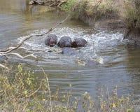 Åtskilliga flodhästar doppade delvist i vatten, når de har kraschat in i floden från land Royaltyfri Fotografi