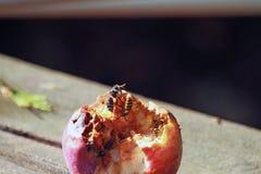 Åtskilliga getingar som äter ett äpple Royaltyfri Fotografi