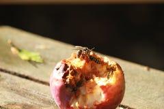 Åtskilliga getingar som äter ett äpple Fotografering för Bildbyråer