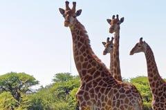 Åtskilliga giraffhuvud Royaltyfri Foto