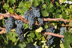 Åtskilliga grupper av druvor på vinranka Royaltyfria Foton