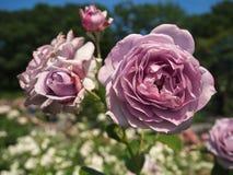 Åtskilliga lavendelrosor i blom Fotografering för Bildbyråer