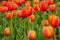 Åtskilliga ljusa röda och gula tulpan som växer i rabatt Arkivfoton