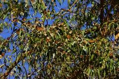 Åtskilliga monarkfjärilar som sitter på en trädfilial royaltyfri foto