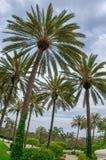 åtskilliga palmträd Arkivbilder
