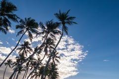 Åtskilliga palmträd silhouetted mot en blå solig himmel med vita moln Arkivfoton