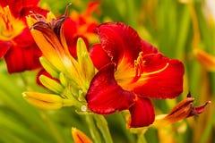 Åtskilliga röda liljor något öppet och några inte Arkivfoto
