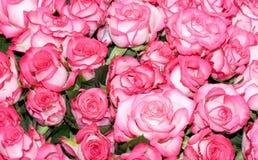 åtskilliga rosa ro för stor brudgrupp Royaltyfria Foton