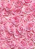 åtskilliga rosa ro för stor brudgrupp Royaltyfri Foto