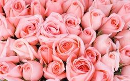 åtskilliga rosa ro w för stor brudgrupp Fotografering för Bildbyråer