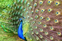 Åtskilliga svansfjädrars ögon av apeacock arkivfoto