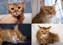 Åtskilliga vinklar av den röda katten Arkivfoto