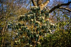 Åtskilligt blommahuvud i blom av Rhododendrum Sinogrande att växa royaltyfri bild