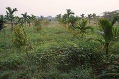 Åtskilligt croping system, durianfrukt att växa samman med arecamutter royaltyfria bilder