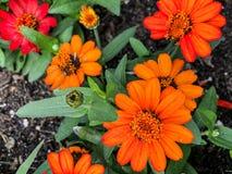 Åtskilligt orange växa för blommor i blommaträdgård royaltyfria foton