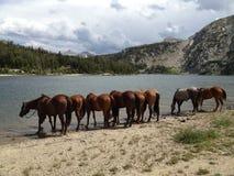 Åtta hästar som dricker på sjön Arkivbilder