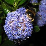 搜寻和收集花粉和花蜜的一只勤勉土蜂作为食物从一朵紫色花在海德公园 免版税库存照片