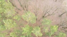 杉木落叶森林鸟瞰图在早期的春天 股票视频