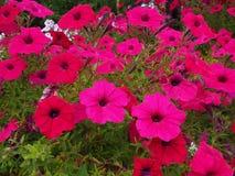 桃红色喇叭花花绽放 图库摄影