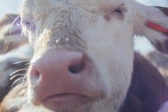 桃红色枪口小牛 免版税图库摄影