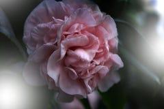 桃红色花山茶花japonica `贝蒂谢菲尔德桃红色` 桃红色与开花的山茶花花美丽的桃红色花在庭院里 免版税库存图片