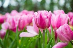 桃红色郁金香在庭院里 库存图片