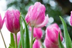 桃红色郁金香在庭院里 免版税库存图片