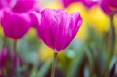 桃红色郁金香绽放在庭院里 免版税库存照片