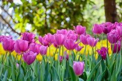 桃红色郁金香绽放在庭院里 库存照片
