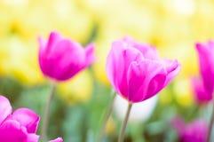 桃红色郁金香绽放在庭院里 免版税库存图片