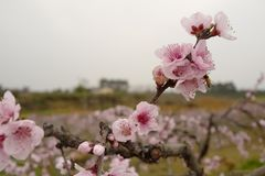 Blossoming peach blossoms in spring breeze stock images
