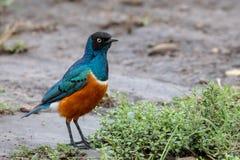 椋鸟科,肯尼亚,非洲 免版税库存图片
