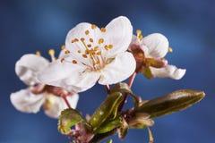 樱桃李子开花 库存图片