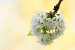 樱桃花群在轻的背景中 免版税库存照片